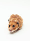 The mouse sits Royalty Free Stock Photography