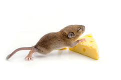Mouse with a slice of swiss cheese Royalty Free Stock Images