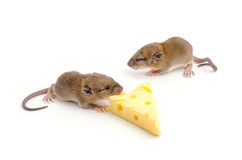 Mouse with a slice of swiss cheese Stock Photos