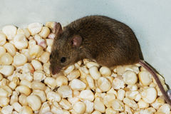 Mouse (small rodent) sits on grains (seeds) of corn Royalty Free Stock Photo
