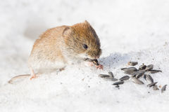 Mouse in the snow. The photo shows a mouse in the snow Royalty Free Stock Photos