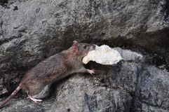 Mouse stealing a bread Royalty Free Stock Photo