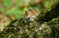 Mouse on stone. The Crimea mountains. Spring Royalty Free Stock Image