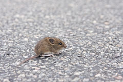 Mouse on a street Royalty Free Stock Photos