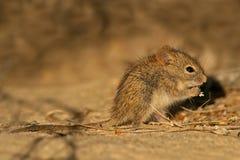 Mouse a strisce Immagini Stock Libere da Diritti
