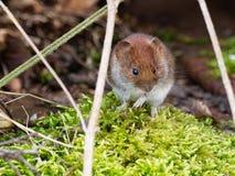 Mouse sveglio Fotografia Stock Libera da Diritti