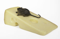 Mouse on Swiss Cheese Royalty Free Stock Photo