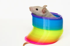 Mouse in toy. A cute mouse sitting in a colorful spiral toy stock image