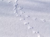 Mouse trace on snow Stock Photography