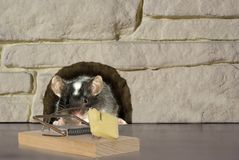Mouse and trap. On stone background Royalty Free Stock Image
