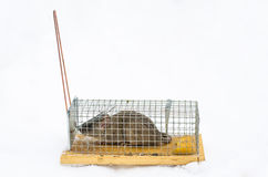 Mouse in trap isolated on white. Rat in trap isolated on white Royalty Free Stock Image