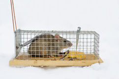 Mouse in trap isolated on white Stock Photo