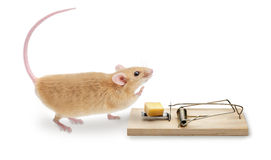 Mouse Trap MouseTrap. A mouse about to step onto a mousetrap with a piece of cheese for bait. Isolated on white Royalty Free Stock Photos