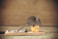 Mouse trap. Risk Mouse Humor Danger Animal Intelligence Royalty Free Stock Photo