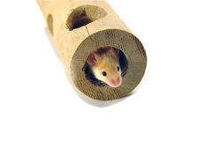 Mouse in tube. Shorthaired mouse in wooden tube Stock Images