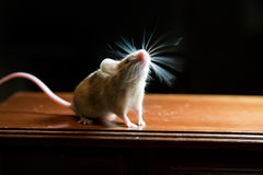 Mouse with twitching whiskers. A cute mouse with its whiskers twitching like a propeller Royalty Free Stock Photography