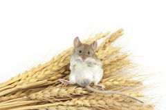 Mouse on wheat Royalty Free Stock Photography