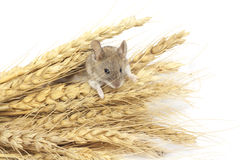 Mouse on wheat Royalty Free Stock Photo