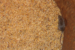 Mouse on the wheat in the pantry. Little grey mouse running on the wheat in the pantry royalty free stock images