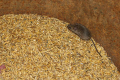 Mouse on the wheat in the pantry. Little grey mouse running on the wheat in the pantry royalty free stock photo