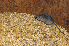 Mouse on the wheat in the pantry Royalty Free Stock Images