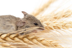 Mouse on wheat Stock Image