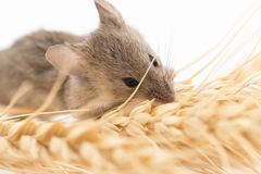 Mouse on wheat Royalty Free Stock Images