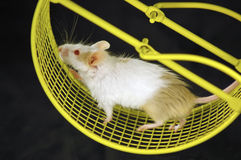 Mouse on wheel. Mouse on an exercise wheel Royalty Free Stock Photo