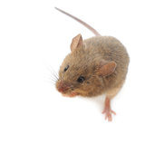 Mouse on white Royalty Free Stock Image