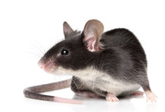 Mouse on white background Royalty Free Stock Images