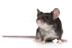 Mouse on white background Royalty Free Stock Image