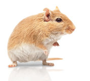 The mouse Royalty Free Stock Photos