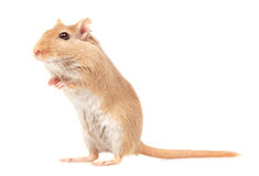 The mouse. Mouse is on a white background royalty free stock images