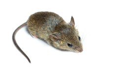 Mouse on a white background Royalty Free Stock Image