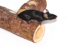 Mouse on a white background Stock Images