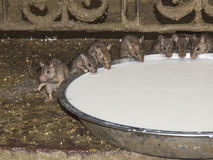 Mouse who drink. Mouse drinking from the bowl in an Indian temple Royalty Free Stock Images