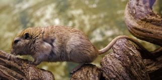 Mouse in the wild. Side view of the mouse that sits on a branch royalty free stock photo