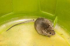 Mouse wildlife animal mammal small big tail Stock Photography