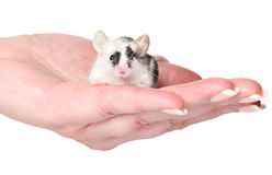 Mouse in woman hand Royalty Free Stock Images