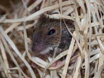 Mouse in wood wool stock photography