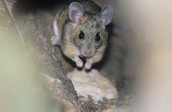 Mouse in woodland royalty free stock photography