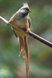Mousebird on branch Royalty Free Stock Photography