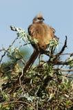Mousebird Coliiformes Stock Photography