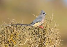 Mousebird di appoggio bianco Fotografia Stock