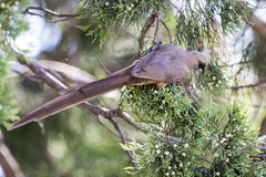 Mousebird eating in tree stock photography