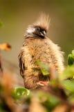 Mousebird in Kenya Africa stock photography