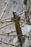 Mousebird manchado (Colius striatus) Royalty Free Stock Photos