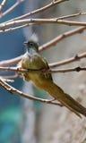 Mousebird manchado (Colius striatus) Stock Image