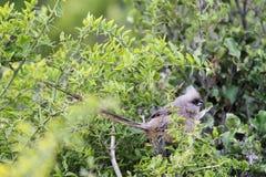 Mousebird manchado (striatus del colius) Foto de archivo libre de regalías