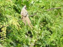 Mousebird na árvore do Albizia, Tanzânia fotos de stock royalty free